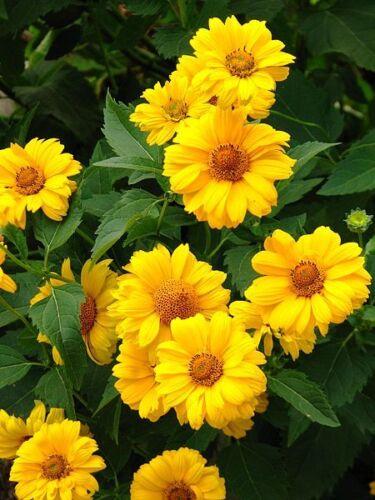 Semi Fiori Online.50 Sole Sundrops Giallo Heliopsis Scabra False Girasole Semi Di