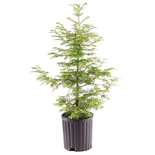 Ubuy Maldives Online Shopping For Dallas Bonsai In Affordable Prices